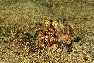 Undeterminate octopus (Octopus ) on sea floor, Manado, Indonesia Sulawesi Sea  -  Pascal Kobeh/ npl