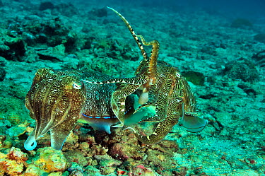 Two Pharaoh cuttlefish (Sepia pharaonis) after mating The male is on female to protect her from potential rivals till she lays her eggs, Daymaniyat islands, Oman Gulf of Oman  -  Pascal Kobeh/ npl