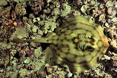 Reef stingray (Urobatis concentricus) at night, Baja California peninsula, Mexico Sea of Cortez  -  Pascal Kobeh/ npl