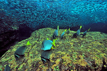 Yellowtail surgeonfish (Prionurus punctatus) grazing algae with a school of jack mackerels (Trachurus symmetricus) Baja California peninsula, Mexico Sea of Cortez  -  Pascal Kobeh/ npl