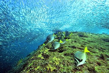 Yellowtail surgeonfish (Prionurus punctatus) grazing algae with a school of Amberstripe scads (Decapterus muroadsi) in background, Baja California peninsula, Mexico Sea of Cortez  -  Pascal Kobeh/ npl