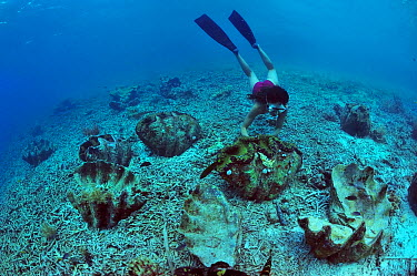 Diver near Giant clams (Tridacna gigas) some of which are dead, Palau Philippine Sea April 2010  -  Pascal Kobeh/ npl