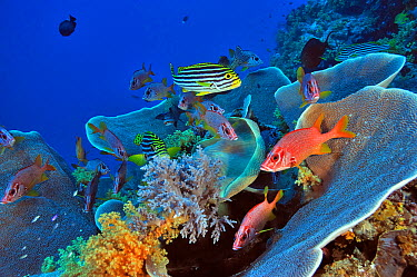 Hard corals (Turbinaria reniformis) and Soft corals (Scleronephthya ) with Giant squirrelfish (Sargocentron spiniferum) and Oriental sweetlips (Plectorhinchus vittatus) Palau Philippine Sea  -  Pascal Kobeh/ npl