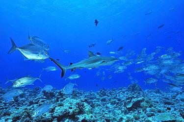 Grey reef shark (Carcharhinus amblyrhinchos) surrounded by Bigeye trevally, jacks (Caranx sexfasciatus) Palau Philippine Sea  -  Pascal Kobeh/ npl