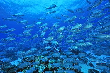 School of Bigeye trevally, jacks (Caranx sexfasciatus) Palau Philippine Sea  -  Pascal Kobeh/ npl