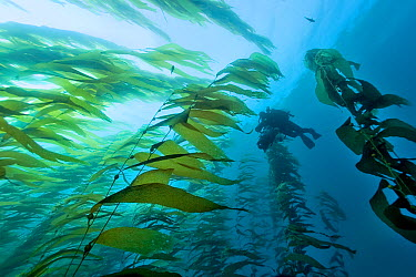 Underwater cameraman is filming a Kelp forest (Macrocystis pyrifera), California, USA Pacific ocean November 2006  -  Pascal Kobeh/ npl