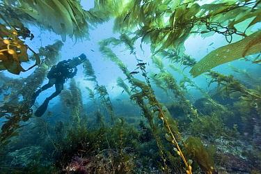 Underwater cameraman is filming Kelp forest (Macrocystis pyrifera), California, USA Pacific ocean November 2006  -  Pascal Kobeh/ npl