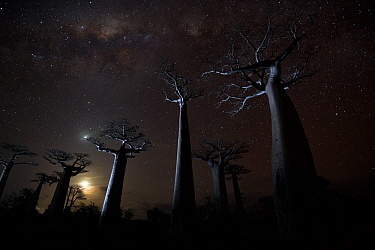 Grandidier?s baobab (Adansonia grandidieri) trees on starry night, Baobab Alley, Menabe, Madagascar Honorable Mention in the Landscapes, Waterscapes and Plant Life category of the Big Picture 2014  -  Ben Cranke/ npl