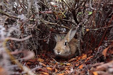 Rabbit walking through pathway through bushes, Okunoshima Rabbit Island, Takehara, Hiroshima, Japan  -  Yukihiro Fukuda/ npl