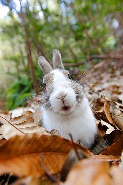 Portrait of rabbit in leave litter, Okunoshima Rabbit Island, Takehara, Hiroshima, Japan  -  Yukihiro Fukuda/ npl