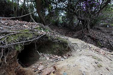 Rabbit burrow, Okunoshima Rabbit Island, Takehara, Hiroshima, Japan  -  Yukihiro Fukuda/ npl