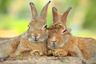 Rabbits resting with alert ears, Okunoshima Rabbit Island, Takehara, Hiroshima, Japan  -  Yukihiro Fukuda/ npl