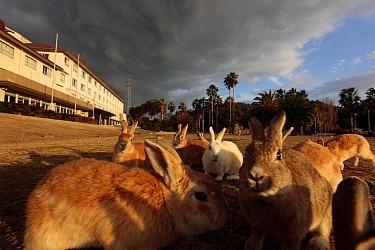 Rabbits on lawn of hotel, Okunoshima Rabbit Island, Takehara, Hiroshima, Japan  -  Yukihiro Fukuda/ npl