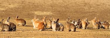 Group of alert adult rabbits, Okunoshima  Rabbit island, Takehara, Hiroshima, Japan  -  Yukihiro Fukuda/ npl