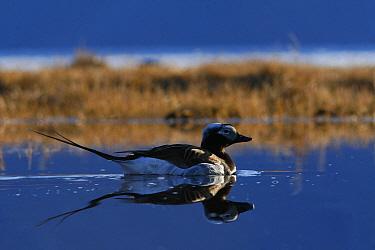 Long tailed duck (Clangula hyemalis) Ellesmere Island, Nunavut, Canada  -  Ian Mccarthy/ npl