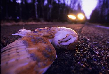 Barn Owl (Tyto alba) road kill with approaching car, UK, winter  -  David Tipling/ npl