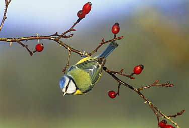 Blue tit (Cyanistes caeruleus) on rose bush with hips, UK, winter  -  David Tipling/ npl