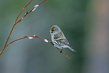 Common redpoll (Carduelis flammea) Finland  -  David Tipling/ npl