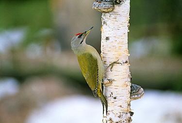 Grey-headed Woodpecker (Picus canus) adult male, Finland Winter  -  David Tipling/ npl