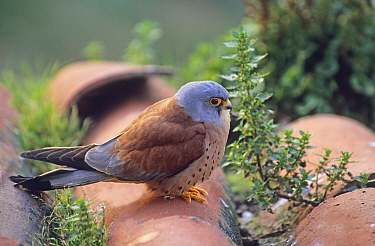 Lesser Kestrel (Falco naumanni) male at breeding colony, Spain spring  -  David Tipling/ npl
