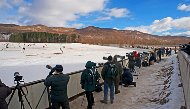 Photographers photographing Red-crowned cranes (Grus japonensis) Akan, Hokkaido, Japan February  -  David Tipling/ npl