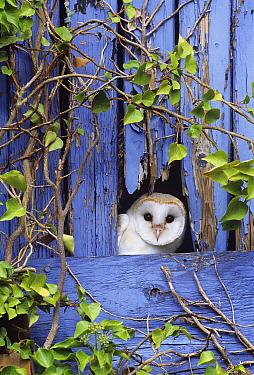 Barn Owl (Tyto alba) peering from barn door, Kent, UK  -  David Tipling/ npl