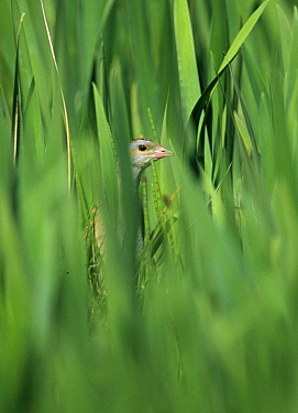 Corncrake (Crex crex) in Iris bed on Balranald RSPB Reserve, North Uist, Outer Hebrides, Scotland, May  -  David Tipling/ npl