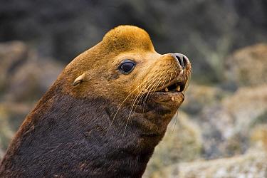 California sea lion (Zalophus californianus) barking, Barkley Sound, Vancouver Island, Canada  -  Matthew Maran/ npl