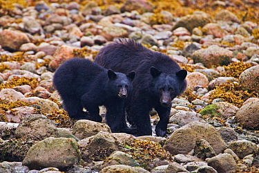 Black Bear mother with cub (Ursus americanus) Ucluth Inlet, Barkley Sound, Vancouver Island, Canada  -  Matthew Maran/ npl