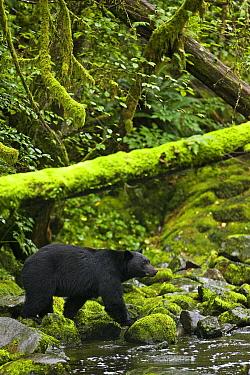 Black bear (Ursus americanus) hunting spawning salmon, Ucluth Inlet, Barkley Sound, Vancouver Island, Canada  -  Matthew Maran/ npl