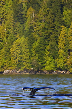 Humpback whale (Megaptera novaeangliae) lobb tailing, Barkley Sound, Vancouver Island, Canada  -  Matthew Maran/ npl