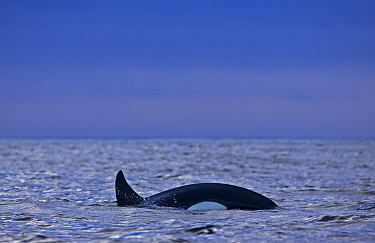 Transient killer whale (Orcinus orca) Barkley Sound, Vancouver Island, British Columbia, Canada  -  Matthew Maran/ npl