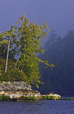 Shore Pine (Pinus contorta) on coast, with rocks showing tide line,  -  Matthew Maran/ npl