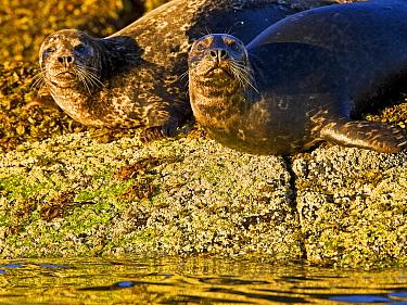 Common, Harbour Seals (Phoca vitulina) Clayoquot Sound, Vancouver Island, Canada  -  Matthew Maran/ npl