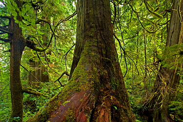 Western Red Cedar tree (Thuja plicata) The Big Tree Trail, Meares Island, Clayoquot Sound, Vancouver Island, British Columbia, Canada  -  Matthew Maran/ npl