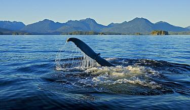 Humpback whale (Megaptera novaeangliae) sounding Barkley Sound, Vancouver Island, Canada  -  Matthew Maran/ npl