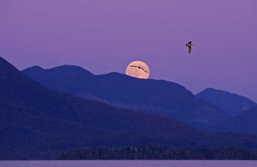 Barkley Sound, with moon rising at dusk, Vancouver Island,  -  Matthew Maran/ npl