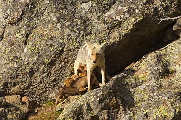 Coyote (Canis latrans) female nursing pups, Yellowstone National Park, Wyoming, USA, June  -  Tom Mangelsen/ npl