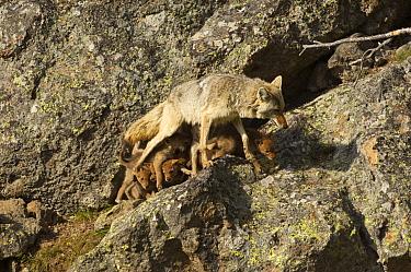 Coyote (Canis latrans) female walking away from nursing pups, Yellowstone National Park, Wyoming, USA, June  -  Tom Mangelsen/ npl