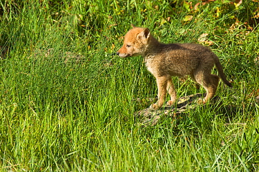 Coyote (Canis latrans) pup standing in grass, Yellowstone National Park, Wyoming, USA June  -  Tom Mangelsen/ npl
