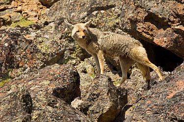 Coyote (Canis latrans) female standing on boulders, Yellowstone National Park, Wyoming, USA June  -  Tom Mangelsen/ npl