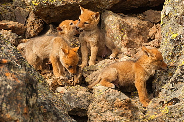 Coyote (Canis latrans) pups playing near their den, Yellowstone National Park, Wyoming, USA June  -  Tom Mangelsen/ npl