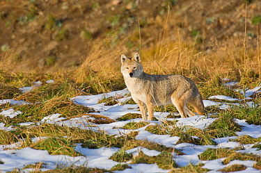 Coyote (Canis latrans) standing in patchy snow, Yellowstone National Park, Wyoming, USA October  -  Tom Mangelsen/ npl