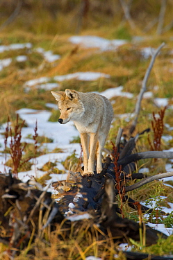 Coyote (Canis latrans) standing on a charred fallen tree in patchy snow, Yellowstone National Park, Wyoming, USA October  -  Tom Mangelsen/ npl