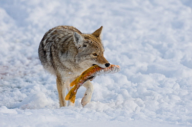 Coyote (Canis latrans) carrying fish prey through snow, with standing in snow, Grand Teton National Park, Wyoming, USA February  -  Tom Mangelsen/ npl