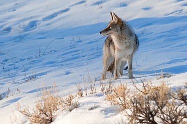 Coyote (Canis latrans) with standing in snow, Yellowstone National Park, Wyoming, USA February  -  Tom Mangelsen/ npl