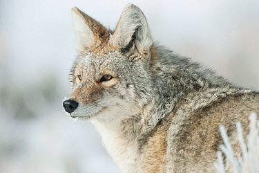 Coyote (Canis latrans) portrait in snow, Yellowstone National Park, Wyoming, USA February  -  Tom Mangelsen/ npl