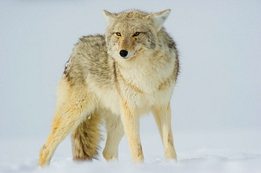 Coyote (Canis latrans) with ears back standing in snow, Yellowstone National Park, Wyoming, USA February  -  Tom Mangelsen/ npl