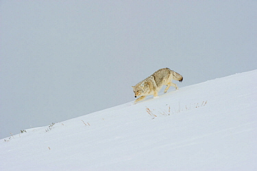 Coyote (Canis latrans) walking in snow, Yellowstone National Park, Wyoming, USA February  -  Tom Mangelsen/ npl