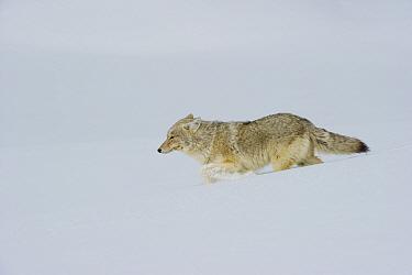 Coyote (Canis latrans) walking through deep snow, Yellowstone National Park, Wyoming, USA February  -  Tom Mangelsen/ npl